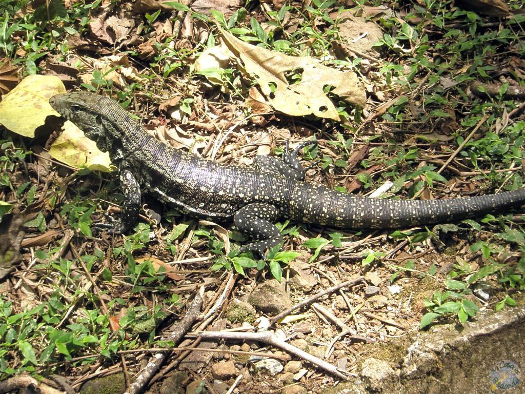 Lagartos en Iguazú
