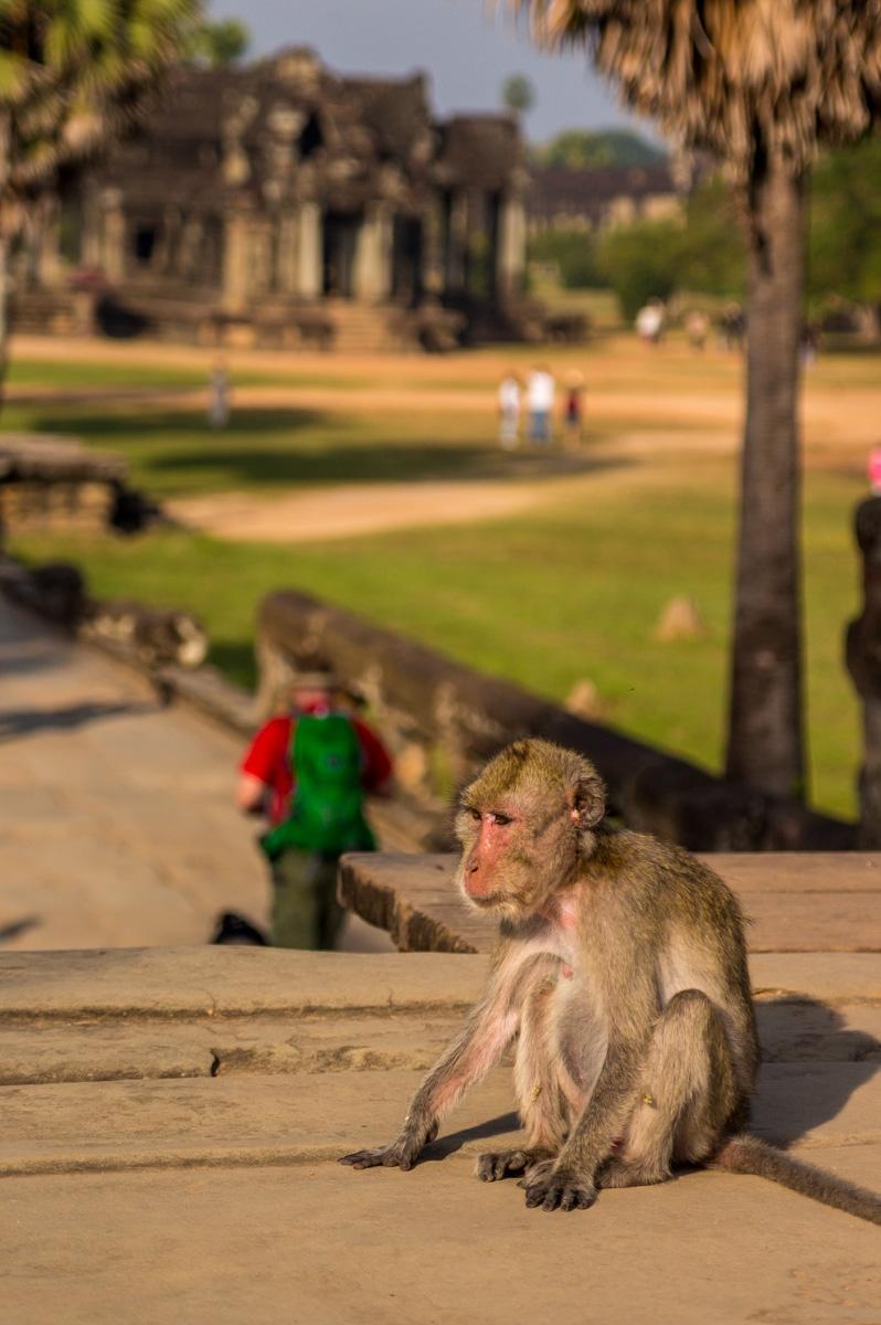 Monos en el recinto, Angkor