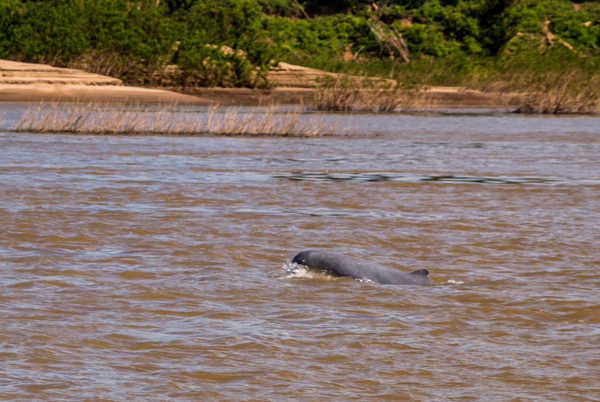 Delfín de Irawadi, junto a Kratie