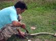 Cazando serpientes en Pinar del Río