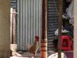 Gallo en San Marcos, Atitlán