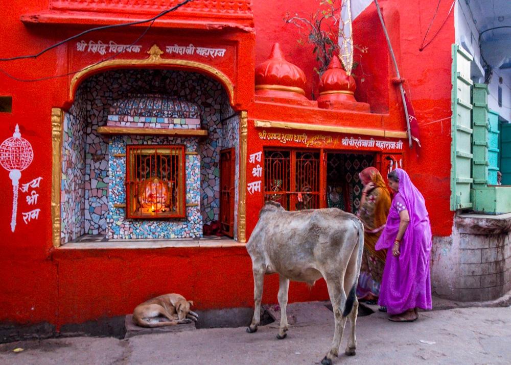 Vacas intentado profanar un templo, Pushkar
