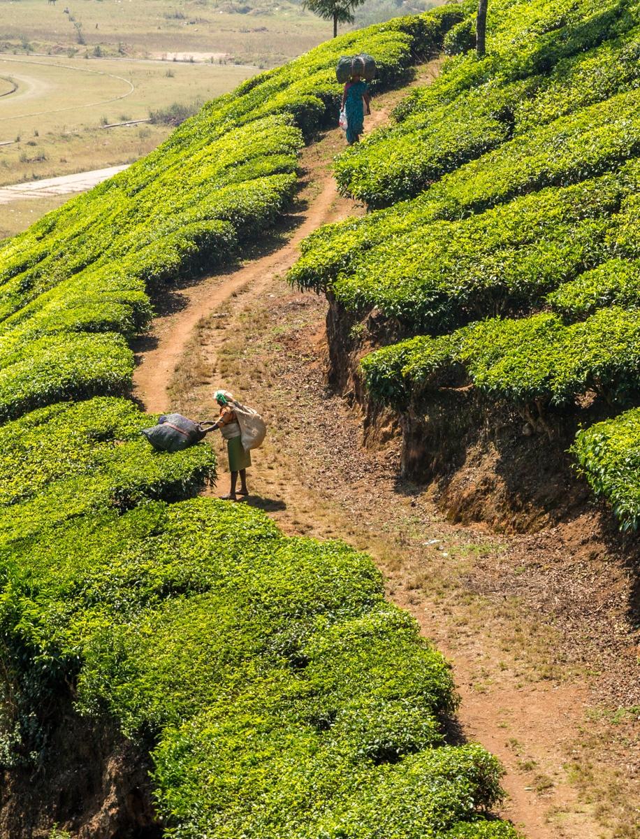 Trabajando en la plantación de té, Munnar