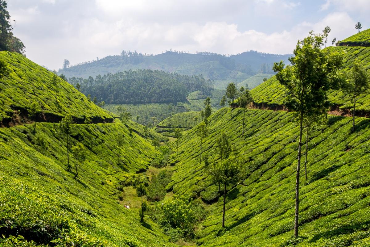 Valles de té, Munnar