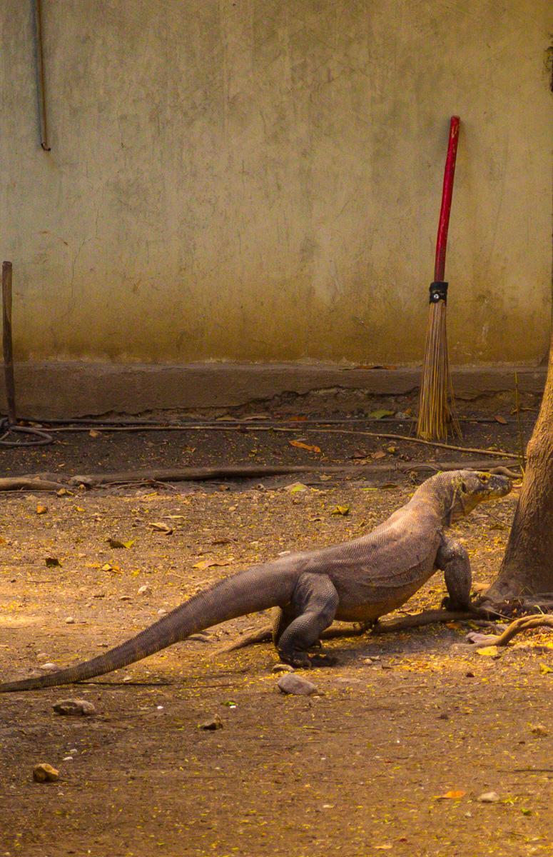 Creo que barreré más tarde. Komodo National Park, Rinca