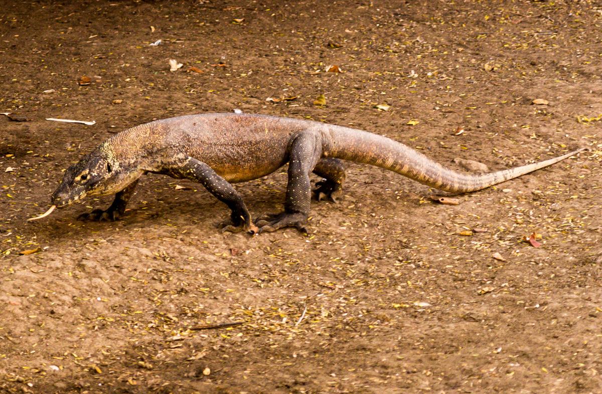Hasta los dragones nos hacen burla. Komodo National Park, Rinca