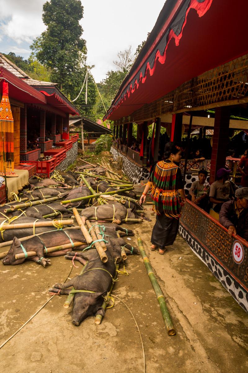 Cerdos y cerdos en el funeral Tana Toraja