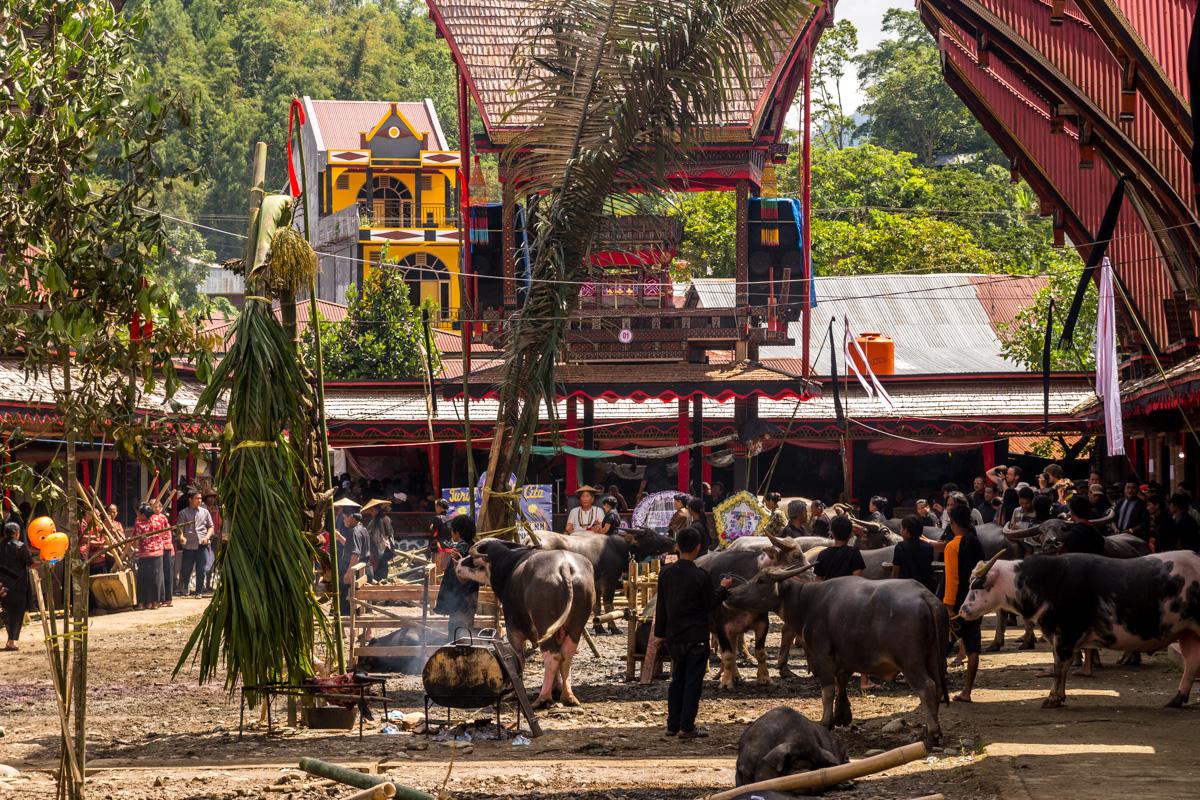 Recuento de búfalos, determina la importancia del funeral, Tana Toraja