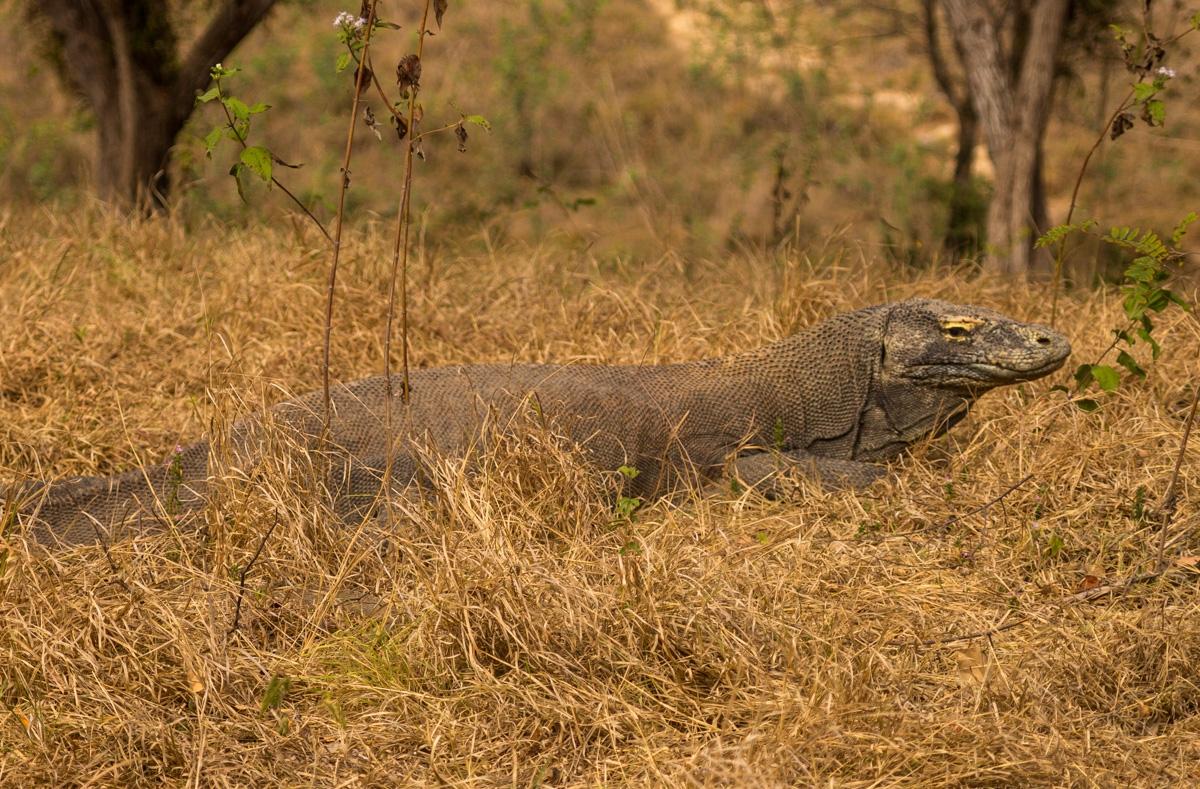 Dragón de Komodo calentándose al sol, Rinca