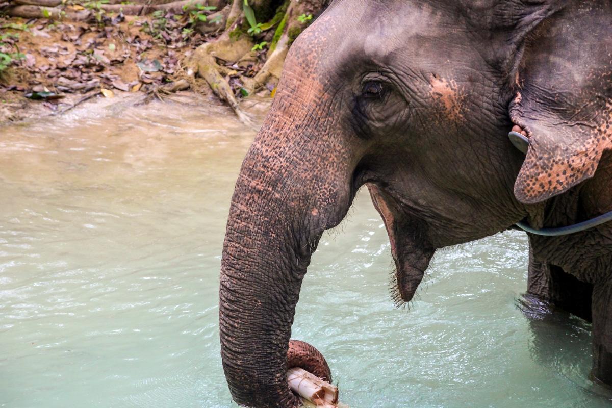 Elefante currando, Tad Se, Luang Prabang