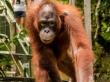 El orangutan que despertó a mi hermano, Sepilok