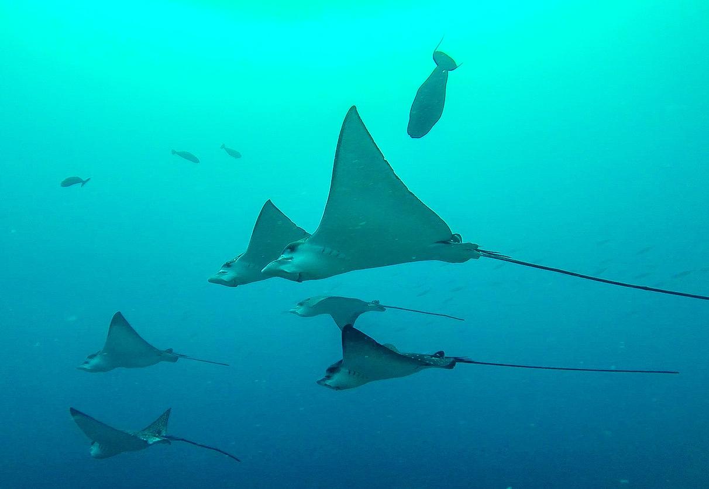 Eagle Rays, Guraidhoo, Maldivas