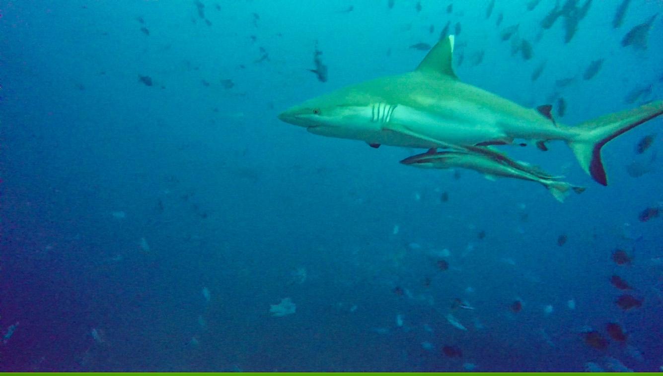 Tiburón con rémoras. Buceo en Guraidhoo, Maldivas