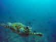 Tortuga curiosa. Buceo en Guraidhoo, Maldivas