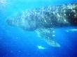 Tiburón ballena con sus rémoras