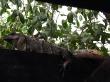 Plagas de iguanas
