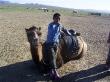Camellos mongoles