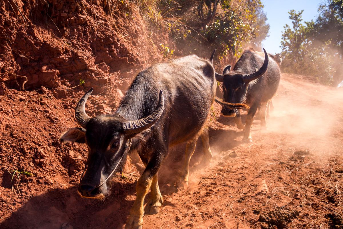 Bufalos en el camino