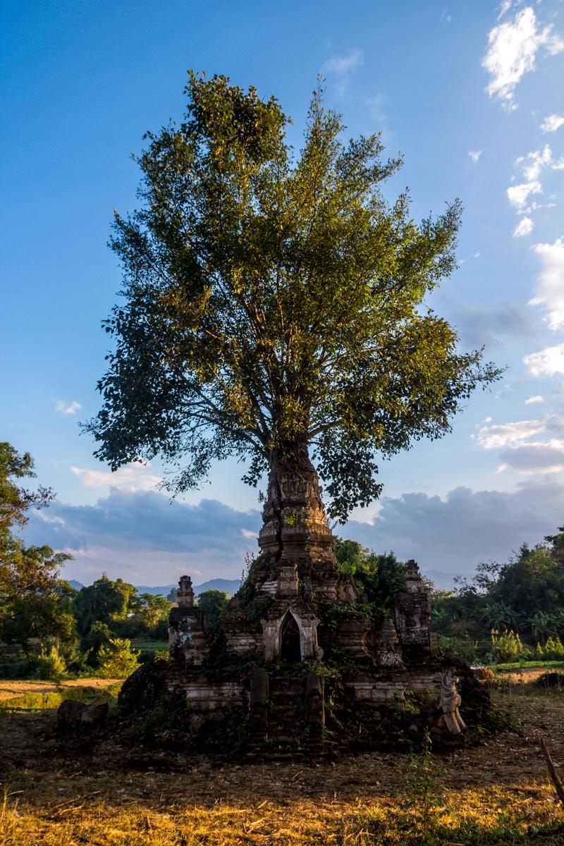 Árbol en ruinas (literalmente), Hsipaw