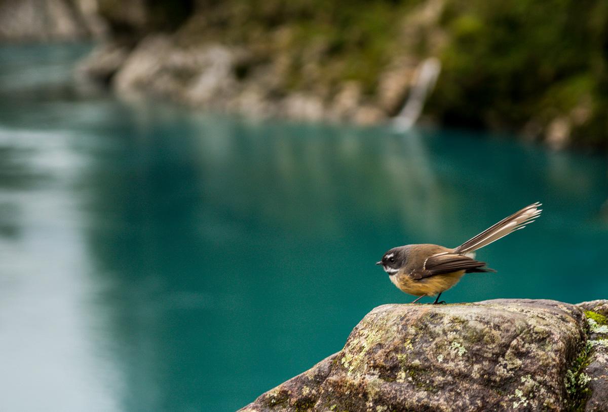 Fantail, qué pájaro más salao!