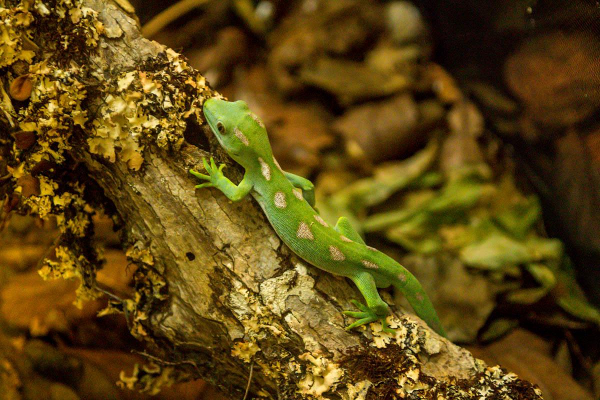 Gecko, Kiwi House, Northland