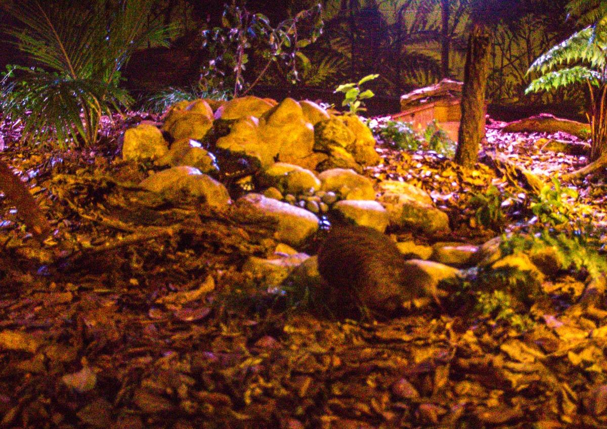 La mejor foto que pude sacar del kiwi, no paraba quieto! Kiwi House, Northland