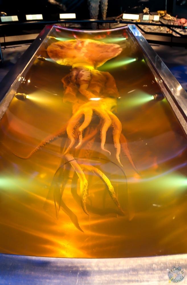 El calamar gigante más grande que se conserva, en el Te Papa