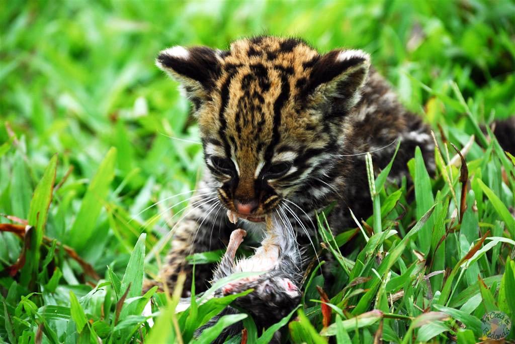 Tigrillo en la zona amazónica (cortesía de Laura)