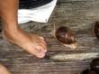 Caracol amazónico