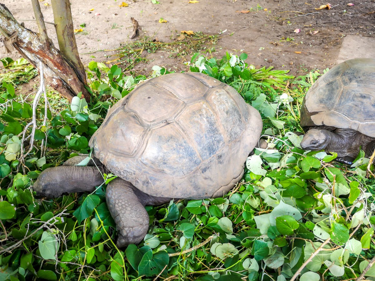 Tortugas de Aldabra, endémicas de Seychelles