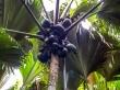 Coco de Mer, autóctono de Seychelles y su símbolo nacional