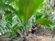 Hojas gigantescas en Seychelles