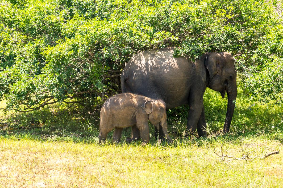 Elefante y minielefante, Yala