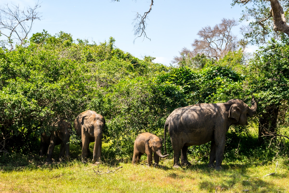 Familia de elefantes, Yala