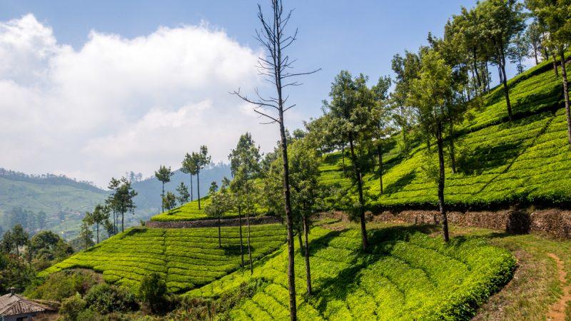 Munnar y los mares verdes de té